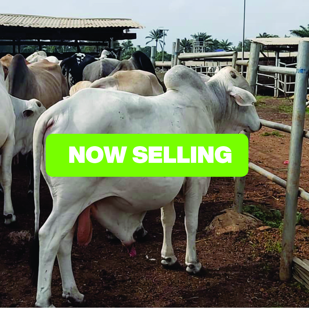 Black Friday Deal- Cattle Fattening