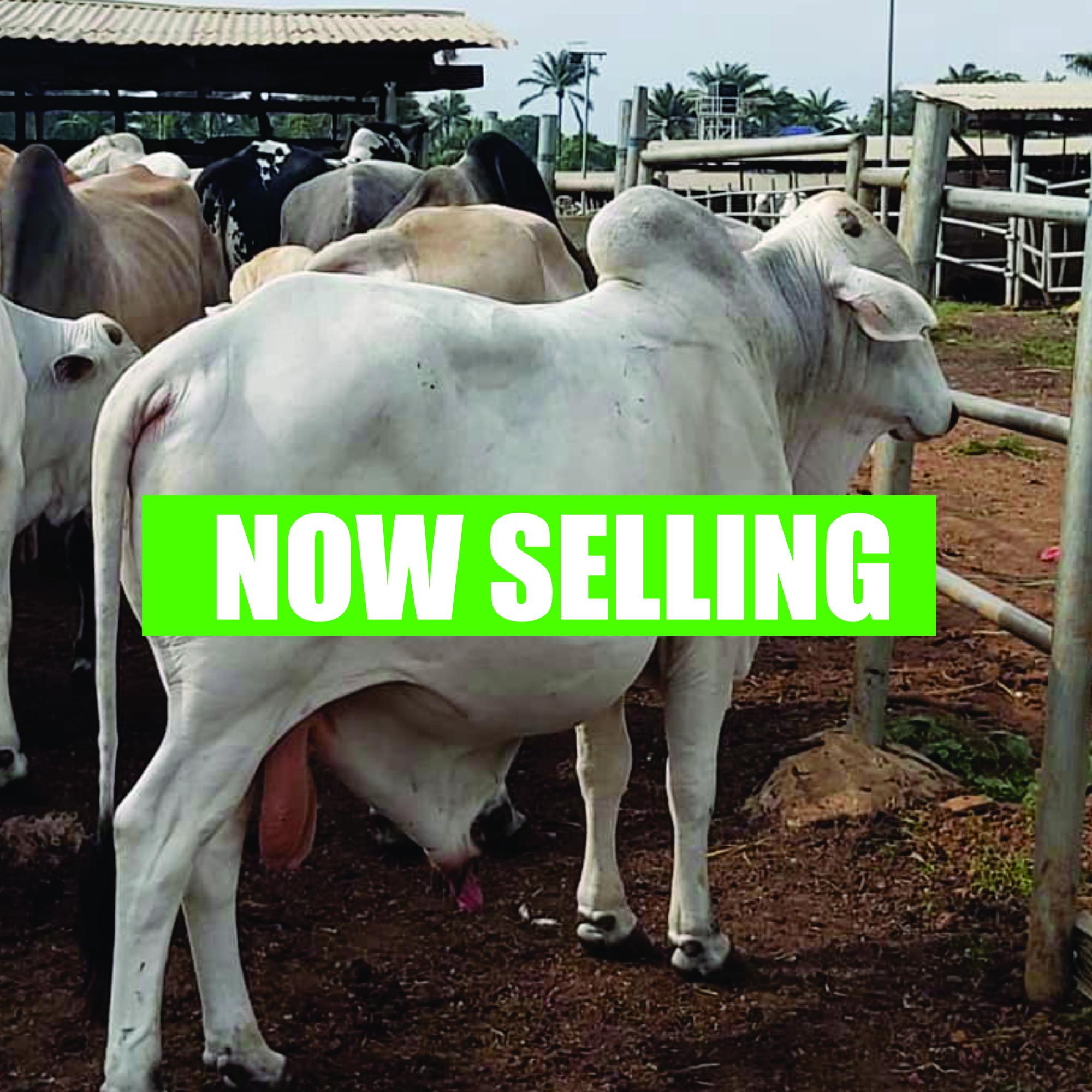 Cattle Farm HNW 2