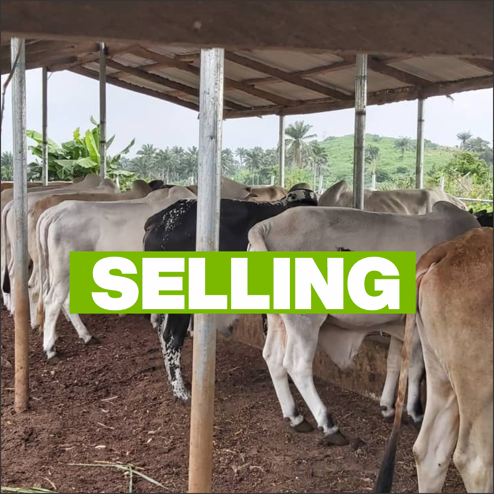 Cattle Value Chain